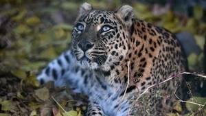 Ein Leopard liegt in Indien in einem Gebüsch und schaut mit angelegten Ohren nach oben