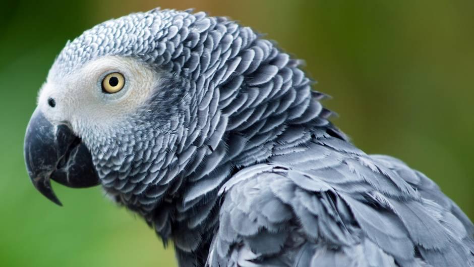 wie alt wird ein papagei