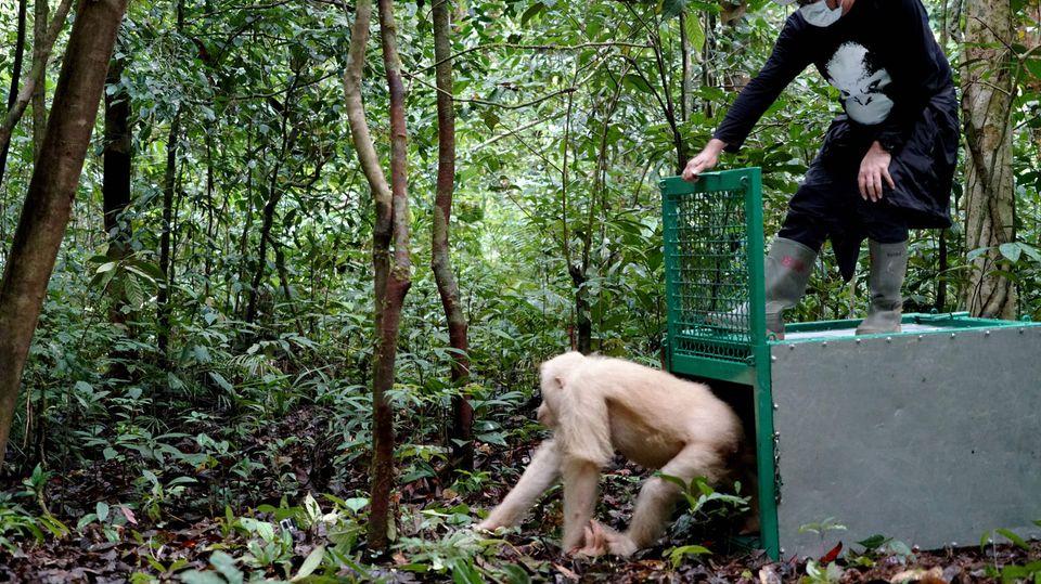 Orang-Utan Alba ist zurück im Dschungel