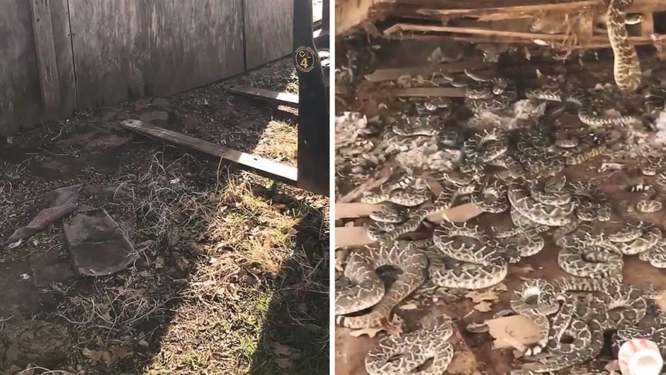"""""""Schlangengrube"""": Giftige Überraschung: Texaner hebt Hütte an und findet Klapperschlangen-Nest"""