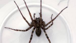 So eine Spinne möchte man wirklich nicht im eigenen Haus finden
