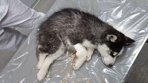 Ein toter Husky-Welpe auf einer Plastikfolie