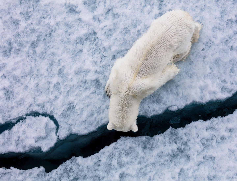 Ist da unten jemand? Dieser Eisbär sucht nach Nahrung unter dem vom Eisbrecher gebrochenen Eis