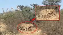 Krüger Nationalpark: Safari-Teilnehmer filmen Geparden bei Dreier