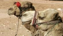 In Kenia sind Kamele für viele Menschen wichtig zum Überleben