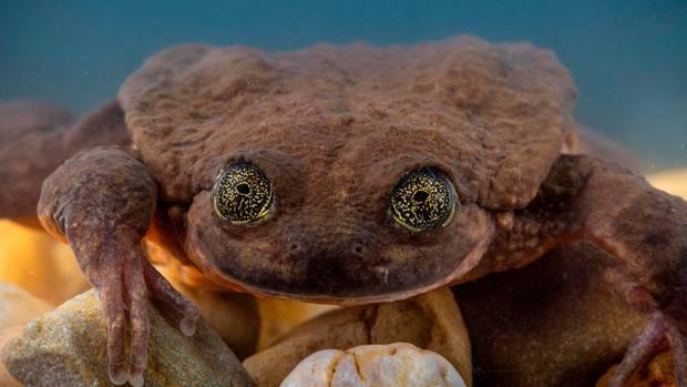 Der Sehuencas-Wasserfrosch ist vom Aussterben bedroht