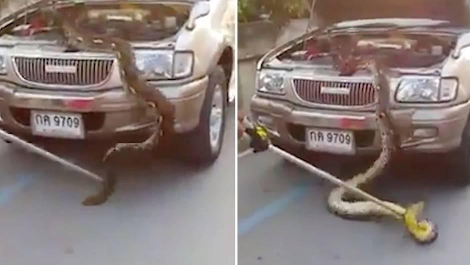 Thailand: Horror unter der Haube: Riesiger Python versteckt sich im Motor