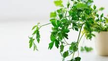 Petersilie ist gesund – wenn man sie isst
