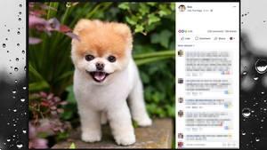 Boo der Zwergspitz auf Facebook