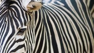 Die Streifen auf der Haut von Zebras machen sie unattraktiver für bestimmte blutsaugende Insekten