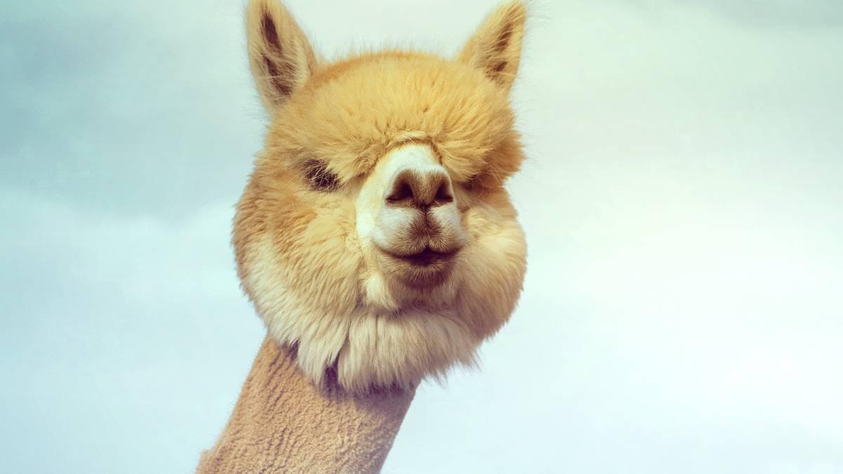 Tierfotografie: Flauschig, flauschiger, Alpaka: Diese zehn Bilder sorgen für gute Laune