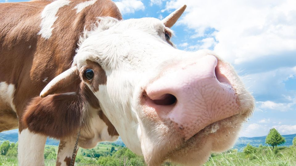Holzhausen bei Landshut: Lang vermisste Aggro-Kuh gesichtet