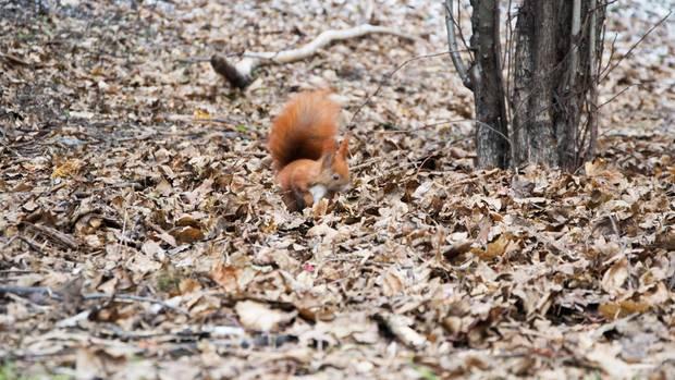 Freut sich über ein paar Walnüsse: Eichhörnchen Jan