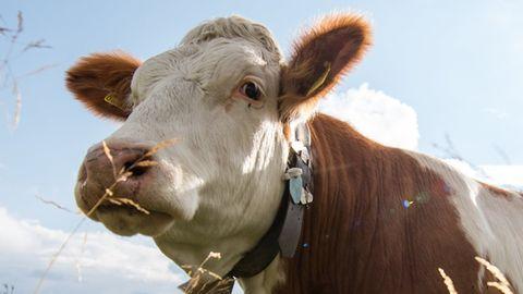 Ruhestörung durch Kuhglocken? Nachbarin scheitert mit Klage