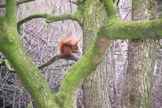Eichhörnchen Chap freut sich bei eisigem Wetter über das Futter