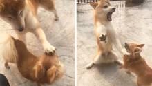 Mini-Hund rastet völlig aus: Unerwünschte Streicheleinheit