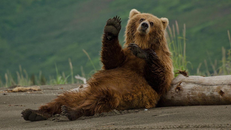 Ein Braunbär liegt vor einem dicken Ast und scheint in die Kamrea zu winken