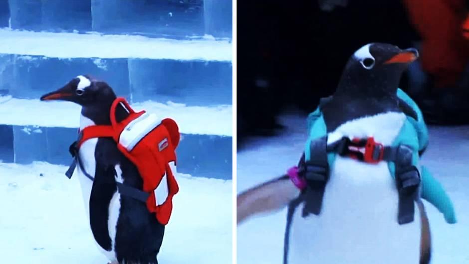 """Lebendige """"Attraktion"""": Tierquälerei als Marketingstrategie: Chinesisches Festival bestückt Pinguine mit Rucksäcken"""