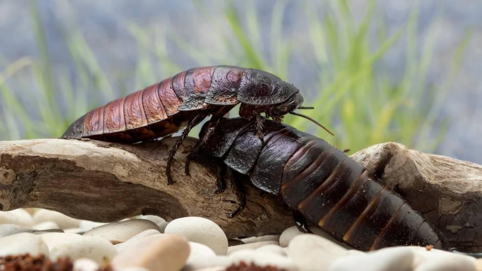 Man kann Kakerlaken auf den Namen des (Ex-) Partners taufen lassen