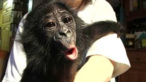 Zwergschimpanse Bili.