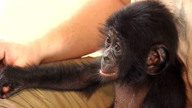 Bili als Bonobo-Baby 2009. Die Mutter hatte ihn verstoßen, weshalb er im Frankfurter Zoo zunächst mit der Flasche aufgezogen wurde.