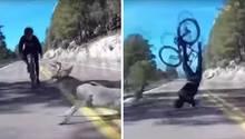 Links ist zu sehen, wie ein Hirsch einem Rennradfahrer vors Rad läuft, rechts fliegt der Fahrradfahrer durch die Luft