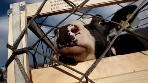 Tiertransporte in Länder, die Tausende Kilometer entfernt liegen, will das Veterinäramt des Landshuter Landratsamtes in Zukunft verweigern (Archivbild)