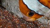 Clarks-Anemonenfisch reichert seine Eier mit Sauerstoff an