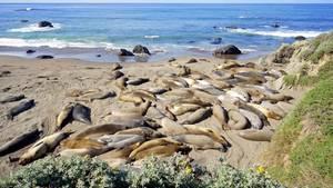 Eine Gruppe Seeelefanten am Strand von Kalifornien