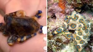 Tourist hält giftigen Oktopus in der Hand