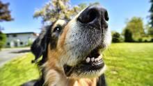Immer mehr Hunde in den USA fressen versehentlich Cannabis