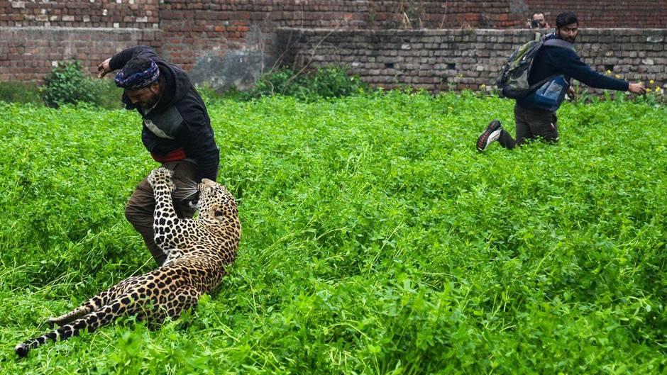 Indien: Gefährliche Begegnung: Wilder Leopard streift durch Siedlung