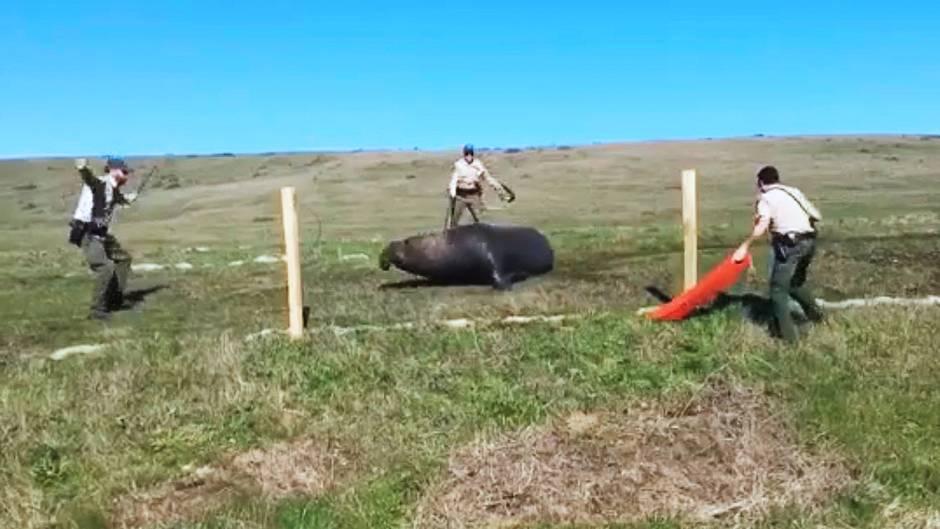 Kalifornien: Drei US-Cops wollen verirrten See-Elefanten retten - und das sieht ziemlich lustig aus