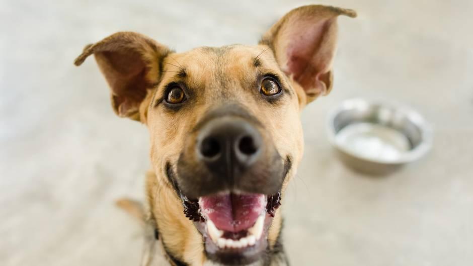 Rückruf von Hundefutter in den USA: Ein Hund sitzt vor einem leeren Fressnapf