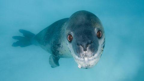 Ein Seeleopard schwimmt unter Wasser (Symbolbild)