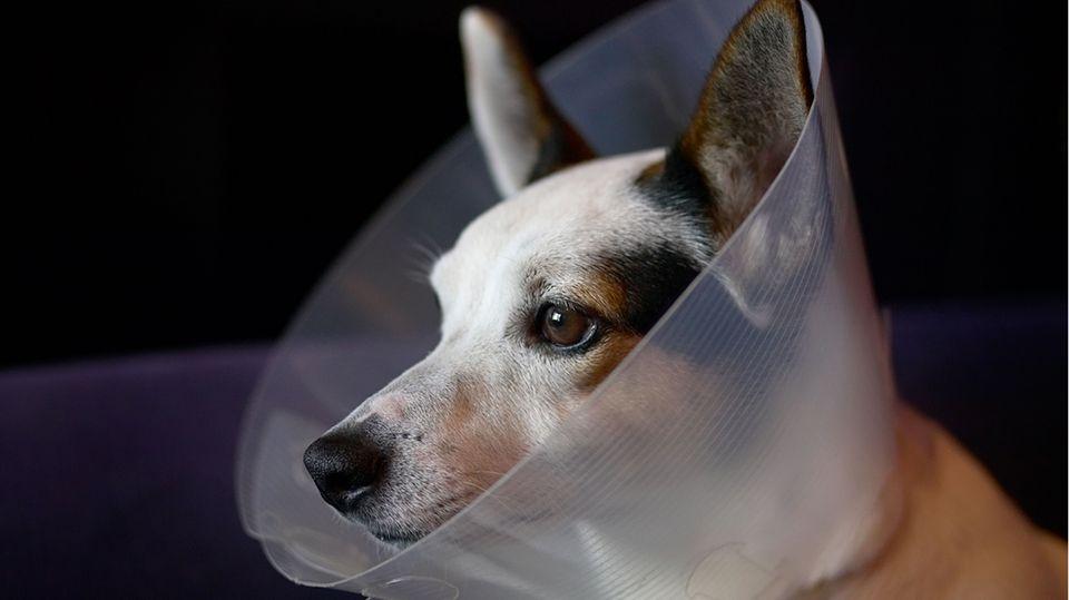 Verletzungen: Wie funktioniert die Wundheilung bei Hunden?
