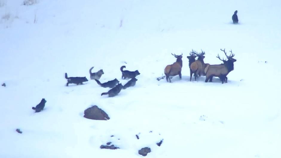 Dramatischer Überlebenskampf: Wolfsrudel jagt Wapitis – doch die Hirsche haben einen eiskalten Verbündeten