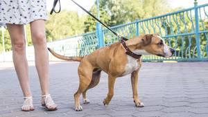 Warum Hunde an der Leine ziehen und wie Sie es verhindern können