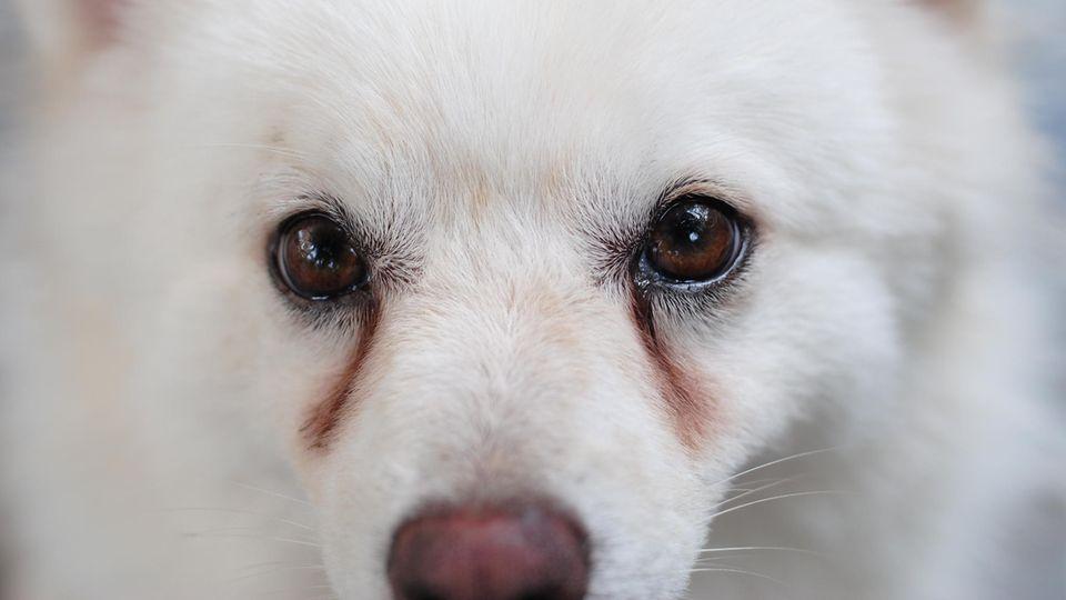 Was bedeuten tränende Augen beim Hund?