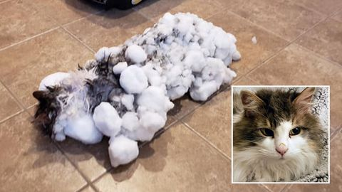 Katze Fluffy wurde nahezu leblos, mit vereistem Fell im Schnee gefunden und gerettet.
