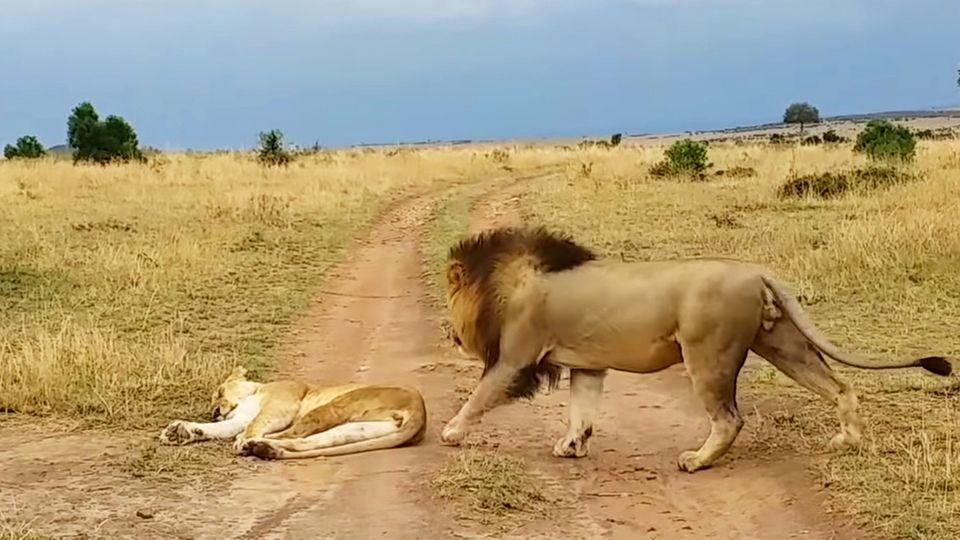 Südafrika: Löwin in Nationalpark wird unsanft geweckt und rächt sich sofort
