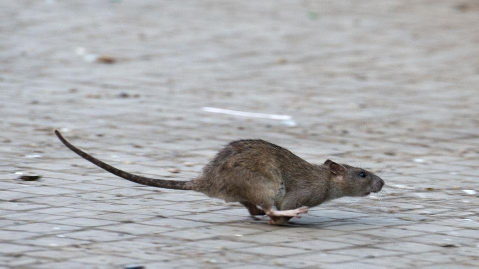 Eine Ratte flitzt über ein Straßenpflaster