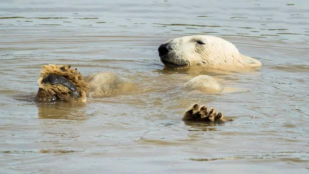 Ein Eisbär in einem Tierpark badet und hält die Tatzen aus dem Wasser