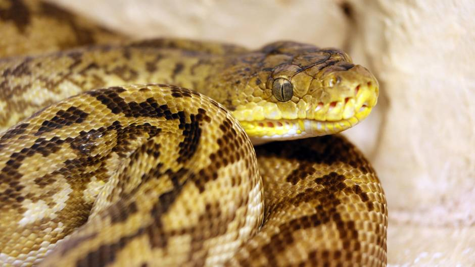 Indonesien: Schlange