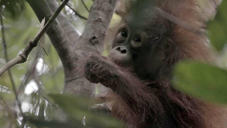 """Borneo/Indonesien: Eines der acht verwaisten Orang-Utan-Kinder, um die sich die """"Waldschule"""" derzeit kümmert."""