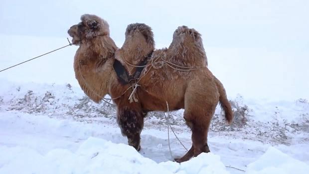 Kamel im Schnee