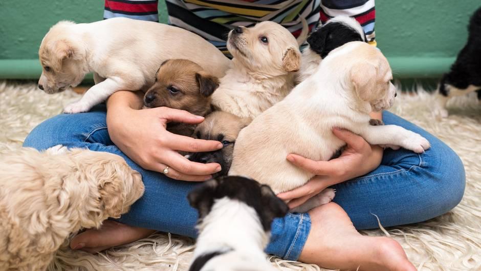 Hundezucht: Was kommt auf mich zu, wenn ich selbst züchten möchte?