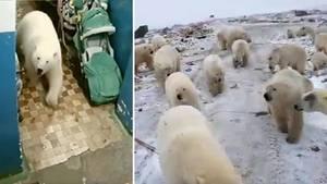 Auf der sibirischen Insel Nowaja Semlja fallen Eisbären auf der Suche nach Futter in die Siedlungen ein.