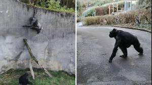 Den Schimpansen im Belfaster Zoo gelingt eine gut geplante Flucht aus ihrem Gehege.