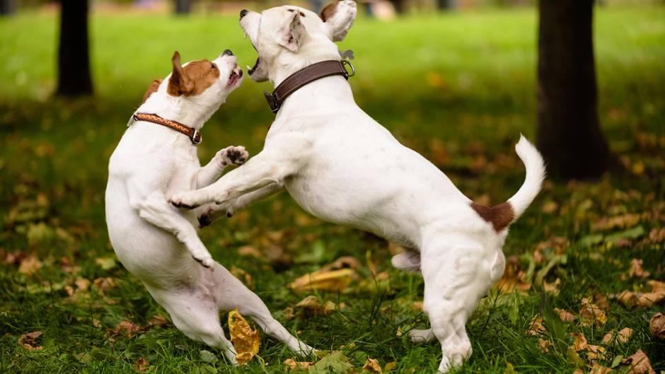 Wer haftet, wenn Hunde sich im Streit verletzen?